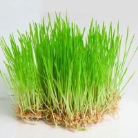Сроки хранения ростков пшеницы